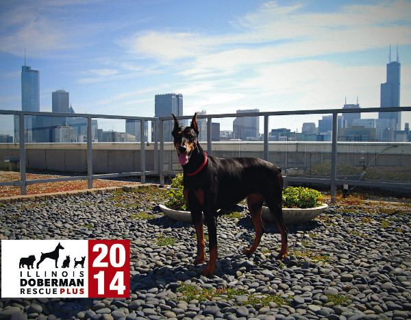Calendar design by PsPrint customer Tony Budenz of smallGIANTdesigns and photography by Lauren Kelliher for Illinois Doberman Rescue Plus